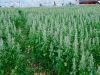 Quinoa-Anbau für Testzwecke
